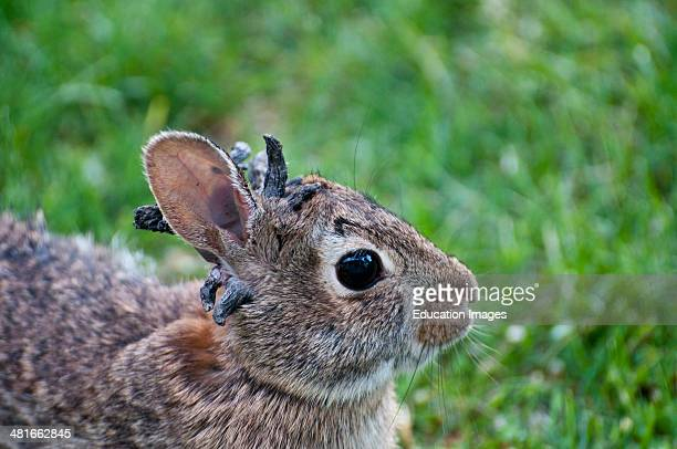 Vadnais Heights Minnesota Eastern Cottontail rabbit Sylvilagus floridanus Rabbit with the papilloma virus or Shope papilloma virus which is a type I...