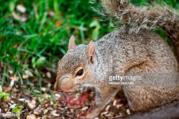 Vadnais Heights, Minnesota. Eastern Gray Squirrel, Sciurus carolinensis with abscess on side of face eating a bird.