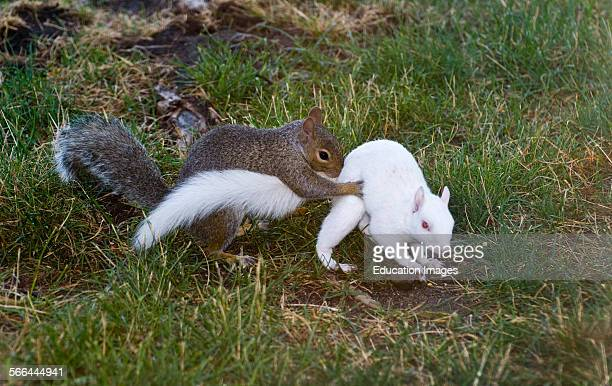 Vadnais Heights Minnesota Eastern Gray squirrel trying to mate with an Albino squirrel Albino squirrels are variations of the gray squirrel