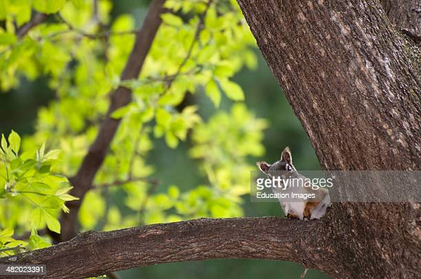 Vadnais Heights Minnesota John H Allison Forest Red squirrel Tamiasciurus hudsonicus sitting in a tree looking at the camera