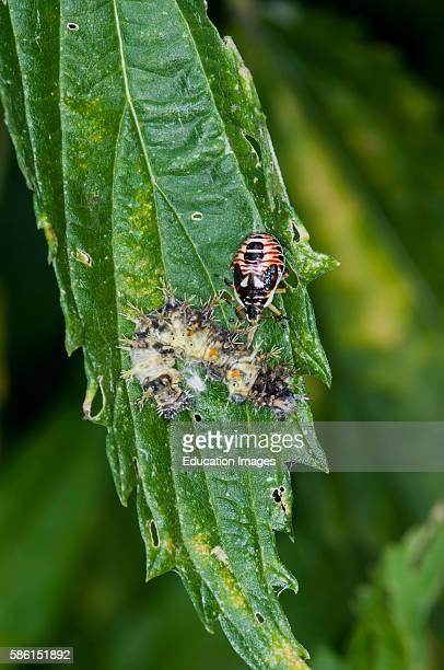 Vadnais heights Minnesota John H Allison forest Stink bug nymph Podisus placidus feeding on a caterpillar carcass