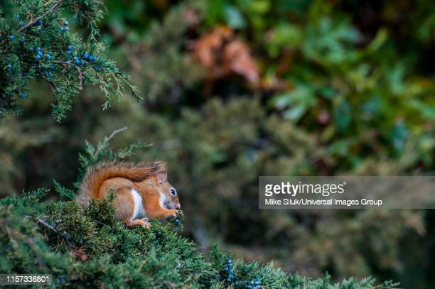 vadnais lake regional park, american red squirrel, tamiasciurus hudsonicus eating berries from a tree. - american red squirrel stock photos and pictures