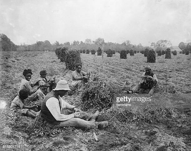 VAFreed slave peanut pickers Virginia Photograph ca late 1890's