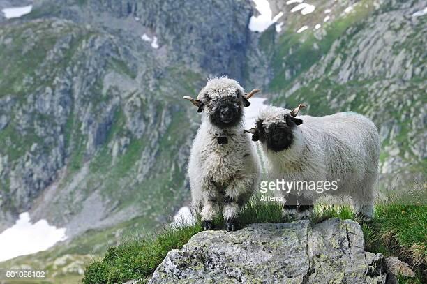 Valais Blacknose / Blacknosed Swiss sheep Valais / Wallis Swiss Alps Switzerland