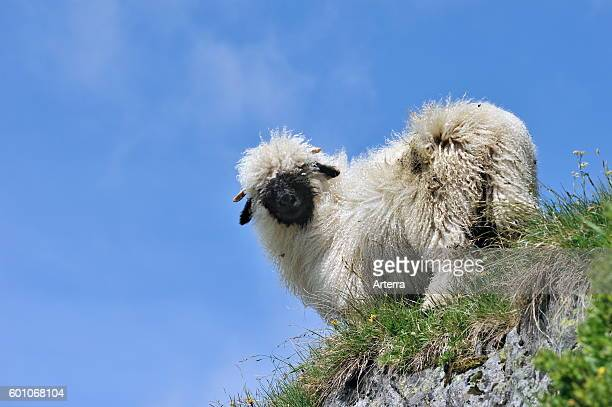 Valais Blacknose / Blacknosed Swiss sheep Valais / Wallis Swiss Alps Switzerland
