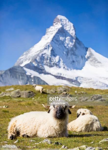 valais blacknose sheep at hoehbalmen, the matterhorn at the back, zermatt, canton of valais, switzerland - zermatt stock pictures, royalty-free photos & images