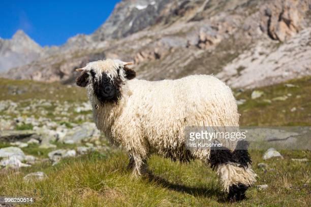 valais blacknose sheep, at hoehbalmen, zermatt, canton of valais, switzerland - valais canton stock pictures, royalty-free photos & images
