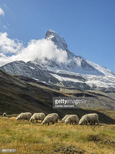 valais blacknose sheep with matterhorn in background, zermatt, valais canton, switzerland - zermatt stock pictures, royalty-free photos & images