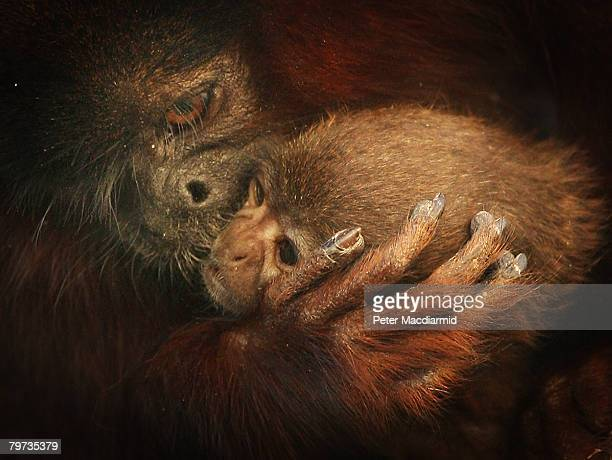 Vale a four week old red titi monkey is cuddled by his dad Thiago in the rainforest biome at London Zoo on February 13 2008 in England The tiny...