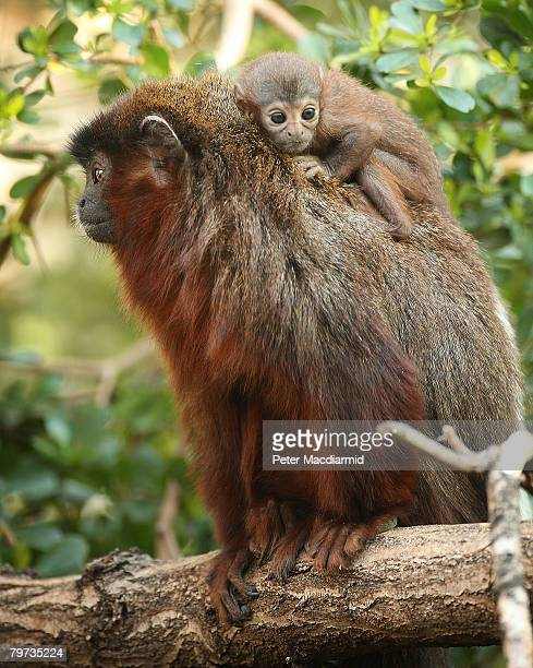 Vale a four week old red titi monkey sits on his dad Thiago's back in the rainforest biome at London Zoo on February 13 2008 in England The tiny...