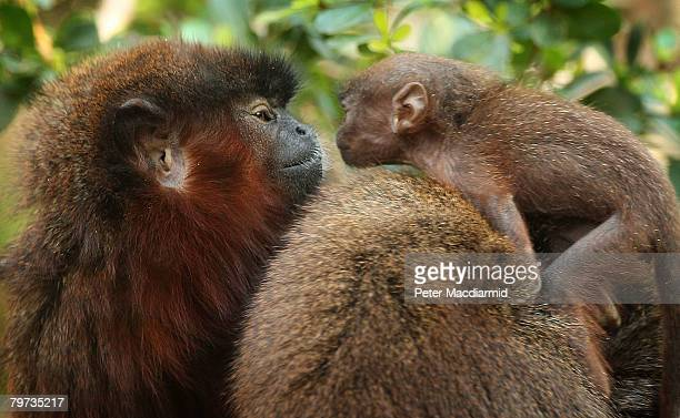 Vale a four week old red titi monkey sits on his mum Yara's back as he looks at his dad Thiago in the rainforest biome at London Zoo on February 13...