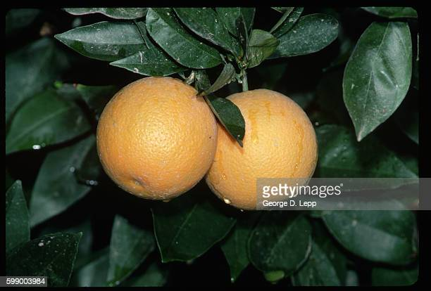 Valencia Oranges on Tree