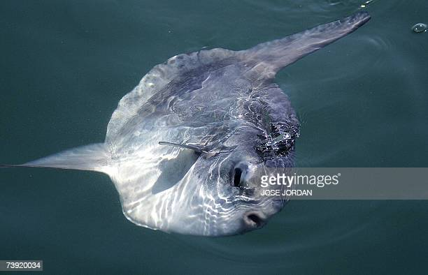 An Ocean Sunfish swims to the surface during the second day of racing in the challenger selection series of the Louis Vuitton Cup in Valencia 17...