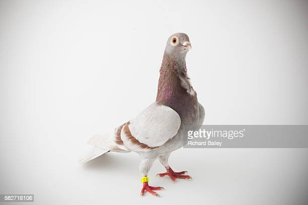 valencian figurita - pigeon stock pictures, royalty-free photos & images