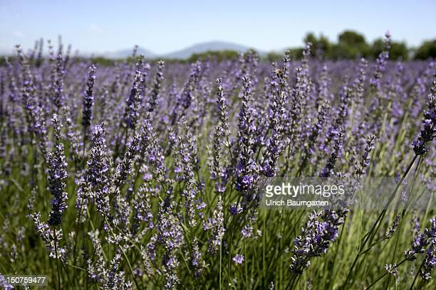 FRANCE Valensole Lavender Field at the high level of Valensole in Provence