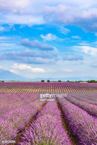 Valensole -Lavender fields