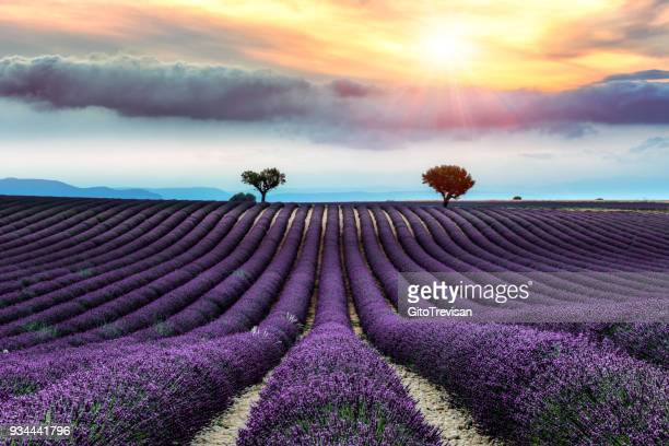 valensole -lavender land, sunset - plateau de valensole stock photos and pictures