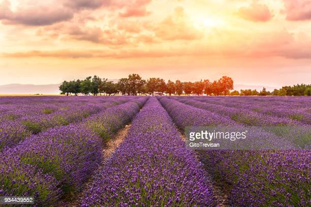 valensole -lavender land, sunset,2 - provence alpes cote d'azur stock pictures, royalty-free photos & images