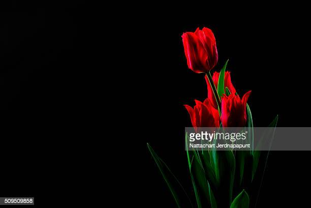 Valentine day with red tulips with black background