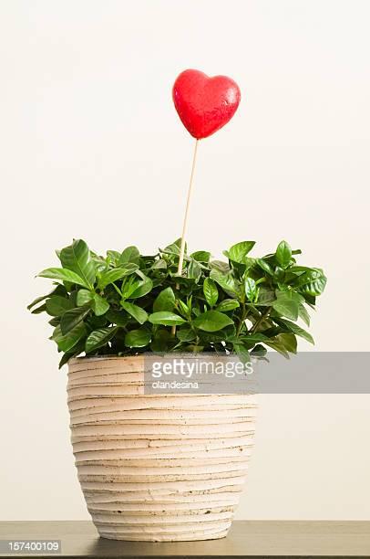 Valentine gift pottedplant