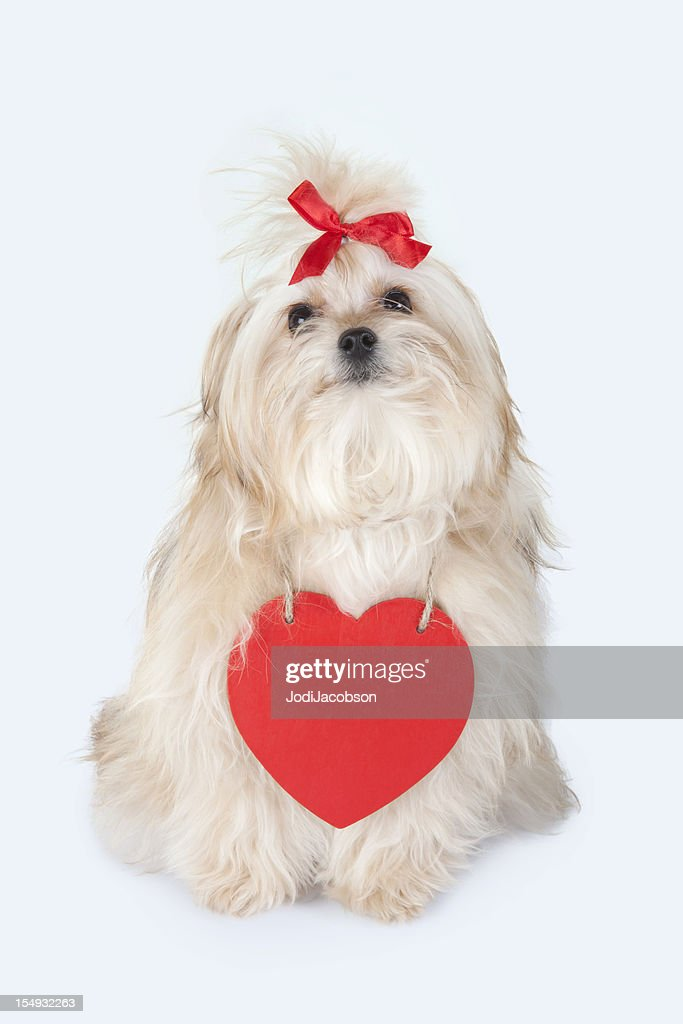 Valentine Puppy : Stock Photo