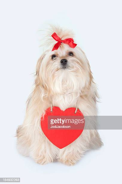 valentine puppy - heart month stock photos and pictures