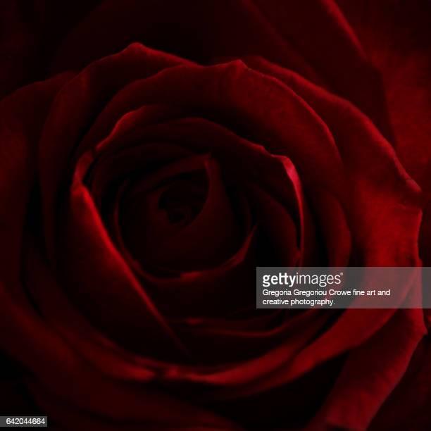 valentine rose - gregoria gregoriou crowe fine art and creative photography foto e immagini stock