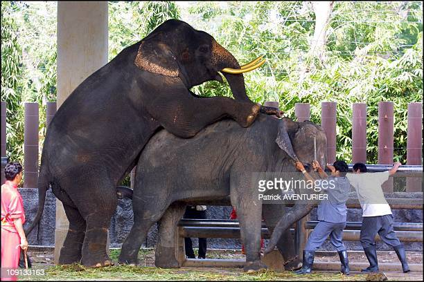 Valentine'S Day For Thai Elephant On February 14Th 2002 In Bangkok Thailand