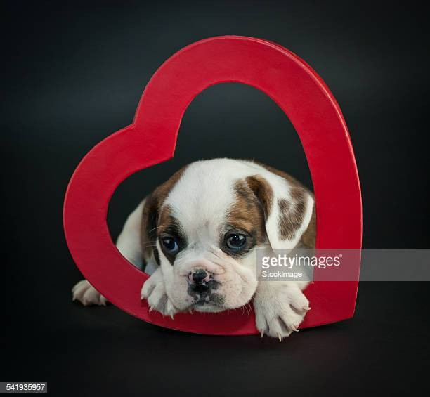 valentine's day puppy - animal internal organ stock photos and pictures
