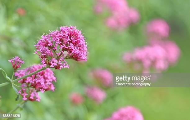 Valerian - herb
