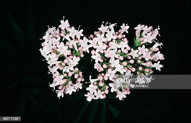Valerian inflorescence Valerianaceae