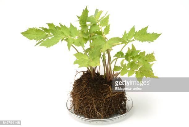 Valerian Valeriana Officinalis Caprifoliaceae Medicinal Plant