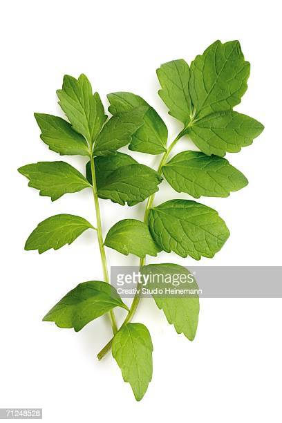 valerian, valeriana officinalis - valerian plant stock pictures, royalty-free photos & images