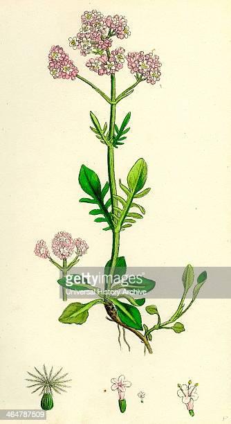 Valeriana dioica Small Marsh Valerian