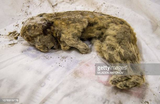 Valery Plotniko a palaeontologist at the Yakutia Academy of Sciences studies a rare prehistoric cave lion cub on November 28 2018 Crouching near a...