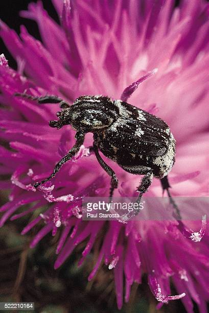 Valgus hemipterus (flower beetle)