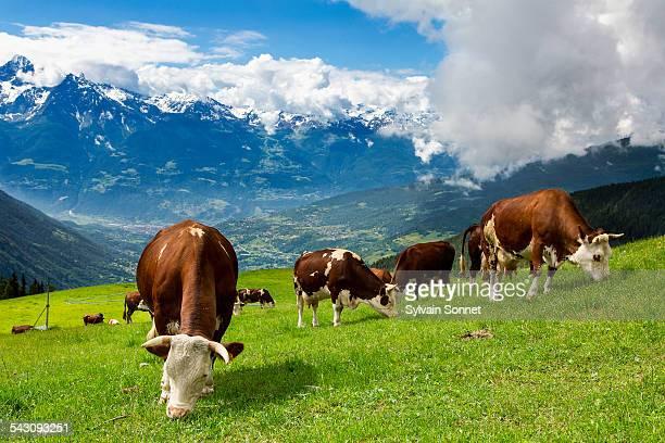 valle d'aosta, cows in valpelline valley - valle d'aosta foto e immagini stock