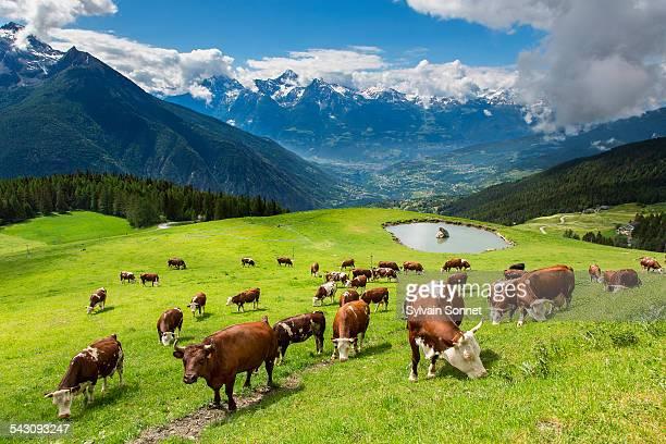 Valle D'Aosta,cows in Valpelline Valley