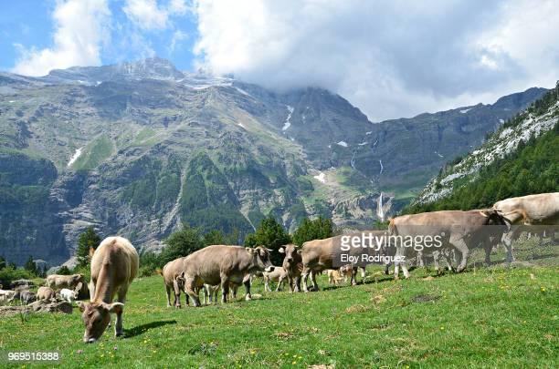 Valle de Pineta. Cows