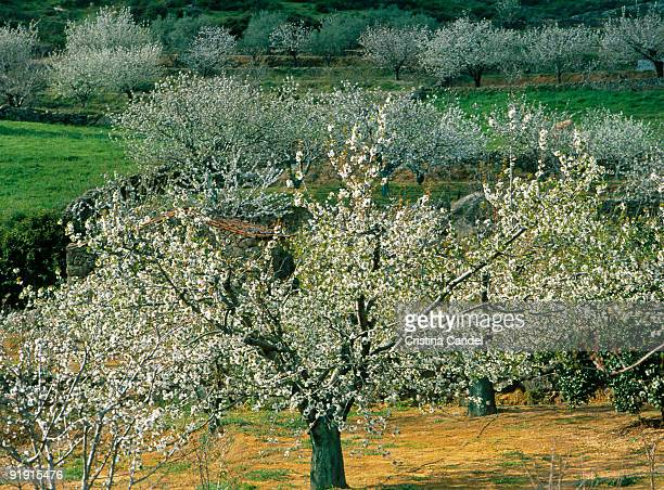 Valle of the Jerte Cherry trees in flower in the Valley of the Jerte
