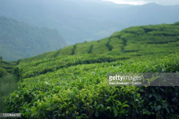 valley, hill, tea , green tea - bandung stock pictures, royalty-free photos & images