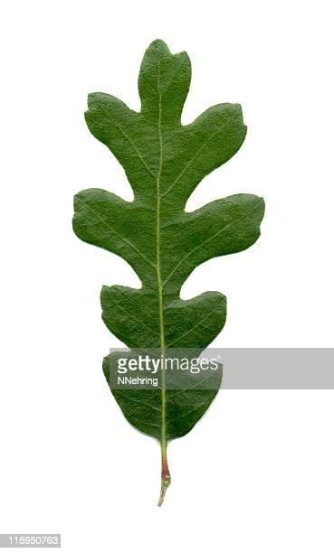 valley foglia di quercia, quercus lobata - foglia di quercia foto e immagini stock