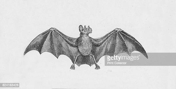 Vampire Bat' c1885 From Journal of Researchers into the Natural History and Geology of the Countries Visited during the Voyage of HMS Beagle Round...
