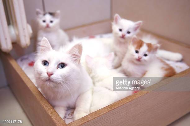 Van cat and kittens sit in a casket at Van Cat Research Center of Yuzuncuyil University on October 13, 2020 in Van, Turkey. Van cats have eyes where...