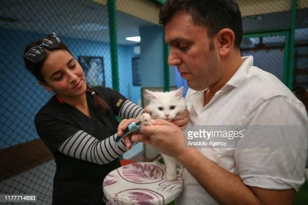Van cat has pedicure at Van Yuzuncu Yil University's Van Cat Research and Application Center in Van province of Turkey on October 22 2019 Van cats...