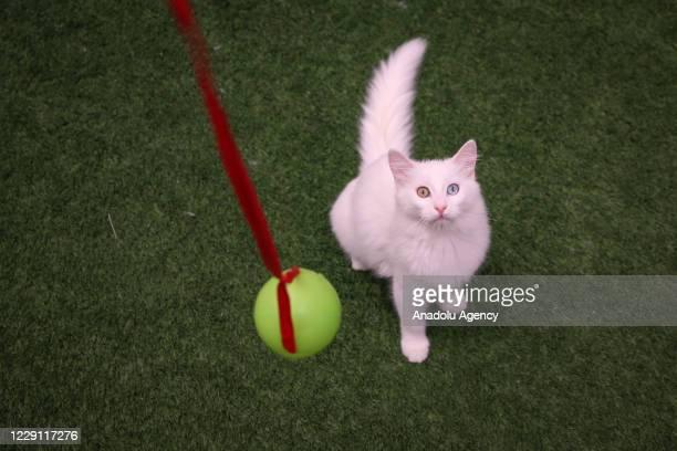 Van cat is seen behind a hanging toy at Van Cat Research Center of Yuzuncuyil University on October 13, 2020 in Van, Turkey. Van cats have eyes where...
