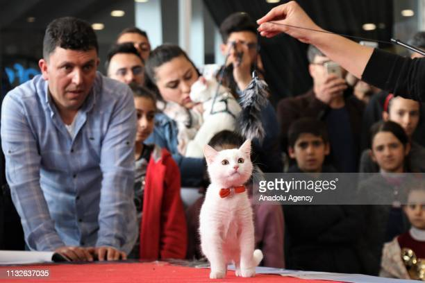Van Cat is seen on its owner's arm during the 4th Van Cat Beauty Contest organized by Van Yuzuncu Yil University's Van Cat Research and Application...