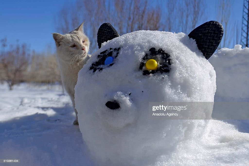 A 'Van cat' stands behind a panda shaped snow pile, made by a father to entertain his kids in Turkey's eastern province Van on February 15, 2016. Van cats haves silky white fur, generally different colored eyes, perfect hunting abilities and loving to play with water. Van cats are described by the people of region as having long, white, silky fur, long body, tiger walking, fox like tail. Different colours of eyes (Diskrematopsi), intelligent, agile is clean, friendly, loves playing and faithful to its owner and therefore these characteristics make it a rare found cat. The shaper of the 'snow panda' used yellow and blue plastics referring Van cats' bi-colored eyes.