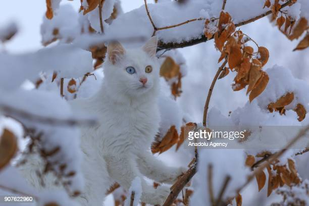 Van cat under the protection of Van Yuzuncu Yil University's Research and Application Center is seen between branches of a tree after snowfall in Van...