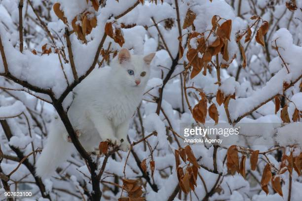 Van cat under the protection of Van Yuzuncu Yil University's Research and Application Center is seen on a branch of a tree after snowfall in Van...